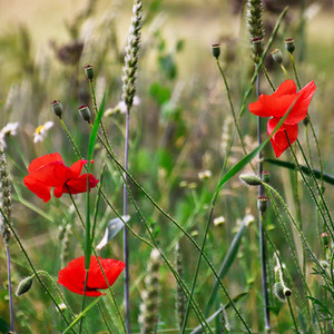 2020-coquelicots-herbes-folles-circuit-rando-vallee-erdre-riaille-OTPA-sacha